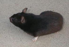 Short Haired Black Syrian Hamster
