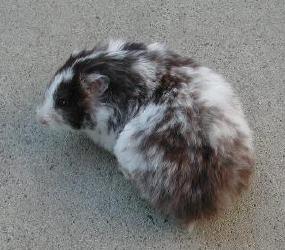 Black Dominant Spot Female