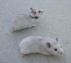 Silver Gray Pups