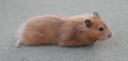 Long Haired Yellow Black Female