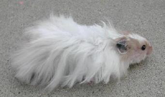 ب) مو بلند(Long Hair): این گونه از همستر سوری ...