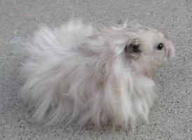 Long Haired Hamster Colors 95